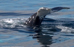 b5_Humpbacks-Rosamel_01Feb11_19