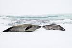 c6_amundsen-sea_21jan15_37
