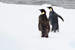 d3_emperor-penguins_24jan15_29